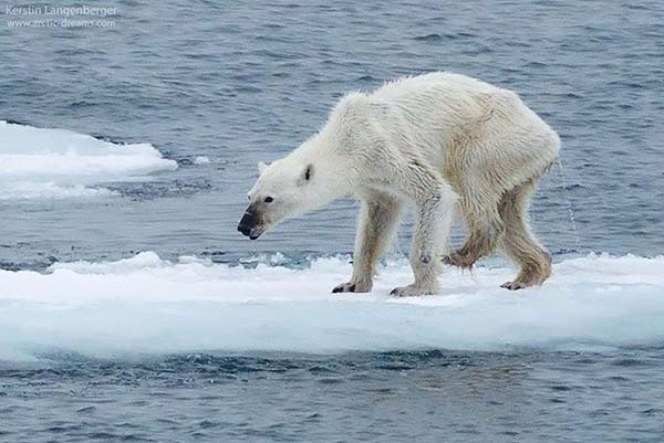 Starving polar bear due to the effects of climate change